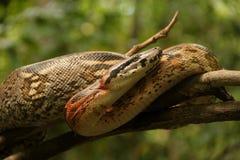大蟒蛇 免版税库存图片