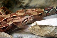 大蟒蛇 库存图片