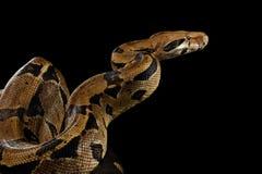 大蟒蛇imperator颜色,在被隔绝的黑背景 免版税库存图片