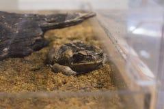 大蟾蜍在栖所 图库摄影