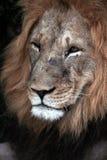 大表面狮子男性伤痕 库存图片