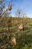大袋或列队前进的杉木巢 图库摄影