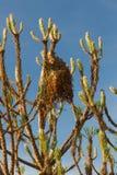 大袋或列队前进的杉木巢 库存图片