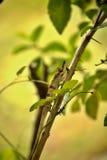 大被引导的变色蜥蜴, Calumma nasutum是一个异常的变色蜥蜴,琥珀色的山,马达加斯加 库存图片