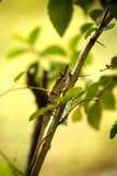 大被引导的变色蜥蜴, Calumma nasutum是一个异常的变色蜥蜴,琥珀色的山,马达加斯加 图库摄影