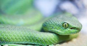 大被注视的坑蛇蝎 免版税库存照片