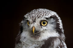 大被注视的猫头鹰,凝视猫头鹰 免版税库存图片