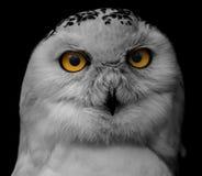大被注视的猫头鹰,凝视猫头鹰 免版税库存照片