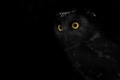大被注视的猫头鹰,凝视猫头鹰 库存图片