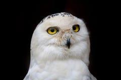 大被注视的猫头鹰,凝视猫头鹰 图库摄影