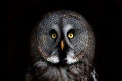 大被注视的猫头鹰,凝视猫头鹰 库存照片