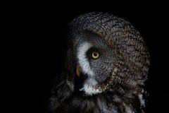 大被注视的猫头鹰,凝视猫头鹰 免版税图库摄影