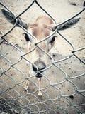 大被注视的鹿 免版税库存照片