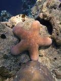 大被颗粒化的位于的橙色海运海底星形 免版税库存图片