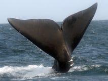 大西洋北部脊美鲸 免版税图库摄影