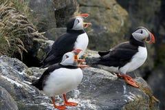 大西洋唱诗班扮小丑海鹦 库存照片