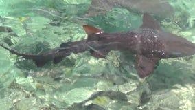 大西洋惊人的绿松石水  戽水者 华美的游泳在水中的鲨鱼和比拉鱼 影视素材
