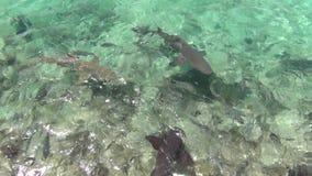 大西洋惊人的绿松石水  戽水者 野生鱼寻找食物 华美的鲨鱼和比拉鱼 股票录像