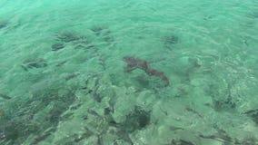 大西洋惊人的绿松石水  戽水者 野生鱼寻找食物 华美的鲨鱼和比拉鱼 影视素材