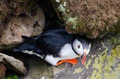 大西洋海鹦在Westfjord,冰岛 免版税库存照片