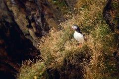 大西洋海鹦坐峭壁,鸟在嵌套殖民地,与colouful额嘴的北极黑白逗人喜爱的鸟,鸟  免版税库存图片
