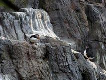 大西洋海鹦,在峭壁的Fratercula Arctica, 库存图片