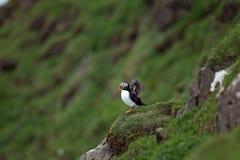 大西洋海鹦, fratercula arctica,法罗岛 库存图片