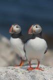 大西洋海鹦 库存图片