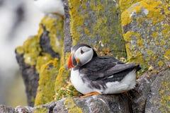 大西洋海鹦Fratercula arctica,站立在峭壁在I 库存照片