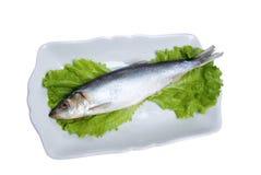 大西洋鲱鱼 免版税库存照片