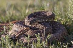 大西部菱纹背响尾蛇响尾蛇 免版税图库摄影