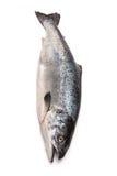 大西洋三文鱼(太阳的斑鳟属)整个鱼 库存照片