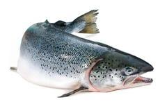 大西洋三文鱼 免版税库存图片