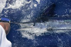 大西洋大赛细索sportfishing的白色 免版税图库摄影