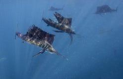 大西洋旗鱼哺养在沙丁鱼的,坎昆墨西哥 库存图片