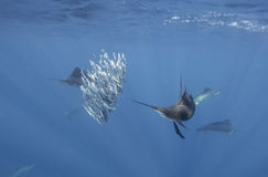大西洋旗鱼哺养在沙丁鱼的,坎昆墨西哥 免版税库存照片