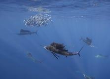 大西洋旗鱼哺养在沙丁鱼的,坎昆墨西哥 免版税图库摄影