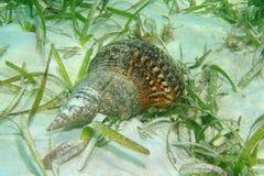 大西洋氚核喇叭壳Charonia variegata 免版税库存图片