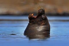 大西洋海狮,海驴属flavescens 画象在与早晨太阳的深蓝水中 在海浪的海洋动物游泳, Fa 免版税库存图片