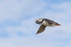 大西洋海鹦在飞行中与鱼抓住  免版税库存照片