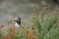 大西洋海鹦在Dyrholaey附近的Fratercula arctica在冰岛 免版税库存照片