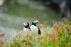 大西洋海鹦在Dyrholaey附近的Fratercula arctica夫妇  库存图片
