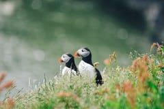 大西洋海鹦在Dyrholaey附近的Fratercula arctica夫妇  图库摄影