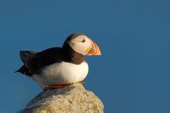 大西洋海鹦, Fratercula artica,与红色票据坐岩石,自然栖所,冰岛的北冰的黑白逗人喜爱的鸟 Wi 库存图片