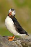 大西洋海鹦, Fratercula artica,与红色票据坐岩石,自然栖所,冰岛的北极黑白逗人喜爱的鸟 P 图库摄影
