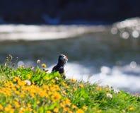 大西洋海鹦(Fratercula arctica)在峭壁上面 库存照片