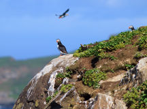 大西洋海鹦(Fratercula arctica)在峭壁上面 免版税图库摄影