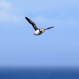 大西洋海鹦(Fratercula arctica)在飞行中 免版税库存图片