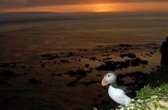 大西洋海鹦(Fratercula arctica)在Latrabjarg峭壁,冰岛 库存图片
