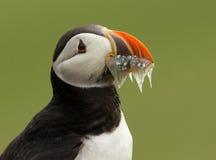 大西洋海鹦(fratercula arctica) 免版税库存图片